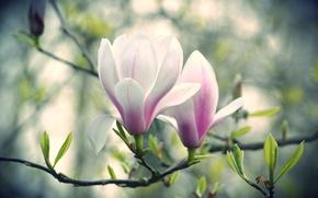 Обои цветы, бело-розовые, магнолия, ветка