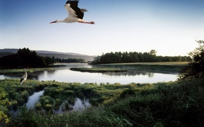 Обои озеро, аист, пруд, птица