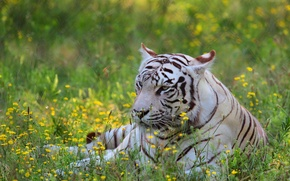 Картинка белый, цветы, тигр, хищник, луг