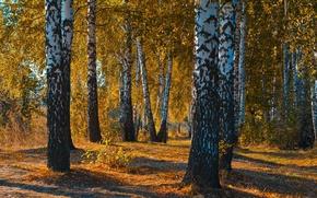 Картинка осень, лес, листья, пейзаж, закат, природа, красота, березы