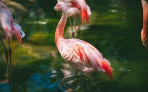 Обои ртица, перья, вода, фламинго, розовый