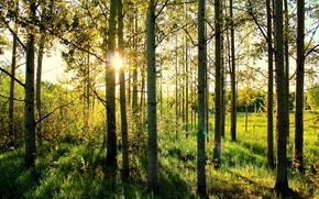 Обои лес, берёзы, солнце, трава