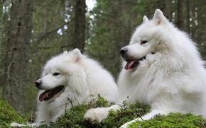 Картинка парочка, друзья, самоед, Самоедская собака