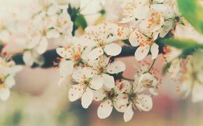 Картинка цветы, вишня, ветви, нежность, цвет, весна, лепестки, цветение