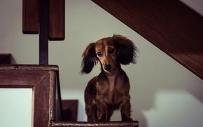 Картинка дом, собака, Miniature Long-Haired Dachshund