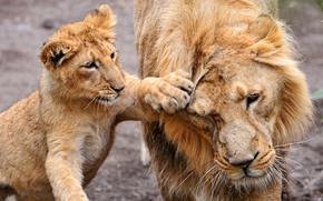 Картинка животные, лев, львёнок