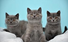 Картинка котята, серые, трое, Коты, британские, бирюзовый фон