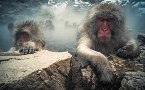 Картинка горы, камни, шерсть, пар, обезьяны, японский макак