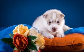 Обои цветы, хаски, подушка, щенок