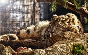 Обои лежит, Snow Leopard, ирбис, фотошоп тюнинг, снежный леопард