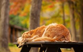 Картинка осень, деревья, природа, стол, собака, лежит, золотистый, ретривер