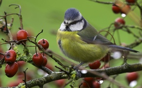 Обои ветки, дерево, птица, синица, ранетки, яблочки, лазоревка