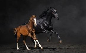 Картинка конь, лошадь, пыль, бег, пара, жеребёнок