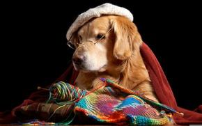 Картинка очки, ретривер, берет, пес, вязание