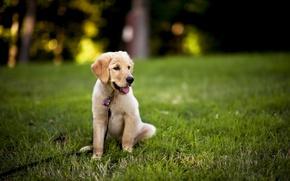 Картинка фон, щенок, сбака