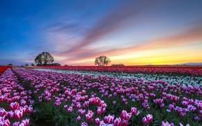 Картинка небо, облака, деревья, закат, цветы, Поле, вечер, тюльпаны, разноцветные