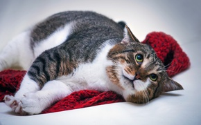 Картинка кошка, кот, морда, поза, эмоции, фон, шарф, лежит, выражение, пятнистый