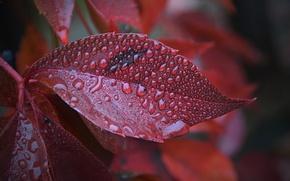 Картинка Макро, Лист, Капли, Осень, Autumn, Macro, Leaves, Drops