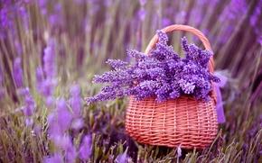 Картинка цветы, корзина, лаванда