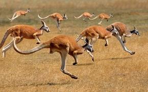 Обои Австралия, кенгуру, стадо, млекопитающее