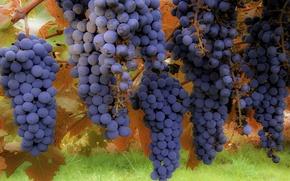 Обои макро, фон, виноград