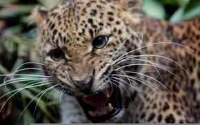 Обои усы, леопард, клыки, оскал