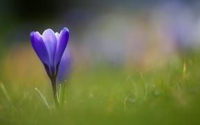 Картинка цветок, трава, синий, крокус