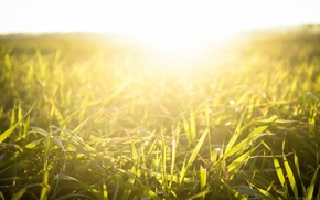 Картинка трава, солнце, свет, закат, природа, растение