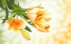 Lilii zheltye butony cvety