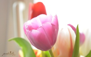 Картинка цветы, нежность, тюльпан, весна