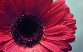 Картинка вода, капли, макро, цветы, фокус, лепестки, бутон, flowers, гербера