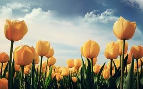 Обои цветы, тюльпаны, желтые