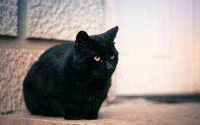 Обои кошка, кот, глаза, черный