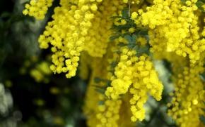 Картинка макро, желтый, весна, пушистый, мимоза