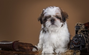 Картинка ретро, фотоаппарат, щенок, ши-тцу