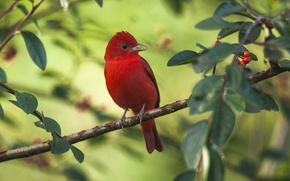 Картинка птица, ветка, Алая пиранга
