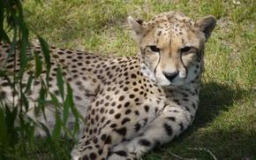 Картинка кошка, отдых, гепард