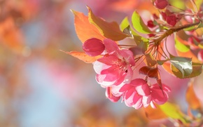 Картинка макро, весна, яблоня