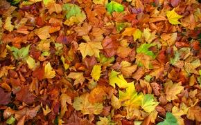 Картинка осень, листья, ковер, цвет, клен