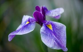 Картинка цветок, макро, сиреневый, лепестки, Ирис