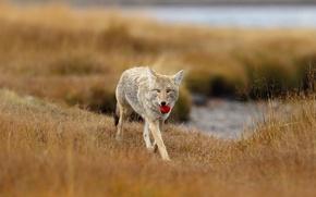 Картинка природа, мяч, волк