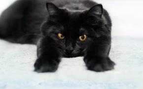 Картинка кошки, черный, коты