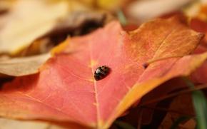 Картинка лист, божья коровка, жук, насекомое, клен