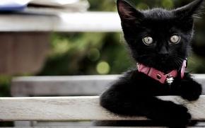 Обои взгляд, малыш, ошейник, котёнок, чёрный котёнок