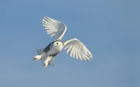 Обои небо, полет, крылья, птица, сова
