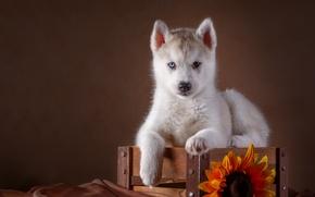 Обои подсолнух, ящик, хаски, щенок