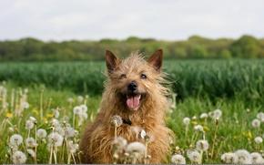 Картинка природа, собака, одуванчики