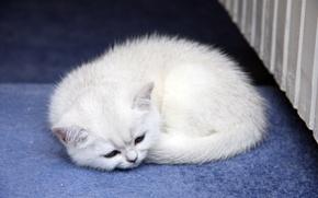 Обои кошка, кот, маленький, спит