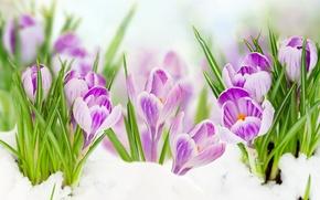 Картинка листья, снег, цветы, весна, крокусы