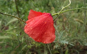 Картинка цветок, капли, макро, красный, роса, нежный, мак